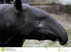 it's a tapir, a primitive animal that has remained unchanged for millions of years. The four tapir species are most closely related to horses and rhinos, since they have an odd number of toes (four toes on each front foot, three on each back foot). Their eyes and ears are small, and the body is teardrop shaped: tapered in the front and wider at the rear, designed to walk through thick vegetation. Male tapirs are slightly smaller than females.