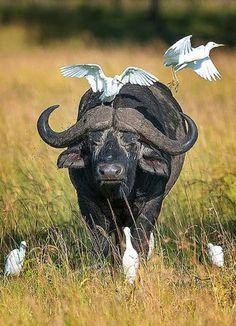 African buffalo( a Big 5) and egrets