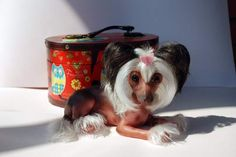 Ayumi. Chinese Crested Dog By Irina Kukushkina - Bear Pile