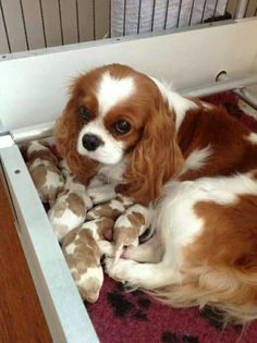 Cavalier King Charles Spaniel mom and her newborn litter of puppies Beautiful Dogs, Animals Beautiful, Cute Puppies, Cute Dogs, Cavalier King Charles Dog, Cavalier King Spaniel, King Charles Spaniels, King Charles Puppy, Cockerspaniel