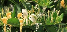 If you're planning on growing Honeysuckle in your backyard, or in your garden then keep reading, as we'll provide you with all the information you need to know. Honeysuckle Plant, Healthy Bars, Edible Plants, Medicinal Herbs, Plantation, Red Berries, Herbal Medicine, Culture, Shrubs