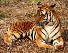 Tiger - Wikipedia, the free encyclopedia