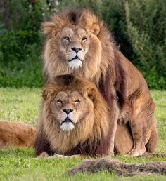 Vieron a dos leones apareándose y la gente comenzó a creer que eran homosexuales. Pero no es así