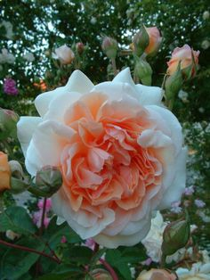Pegasus (Ausmoon) - David Austin English Roses - Old Garden Roses - Rose Catalog - Tasman Bay Roses - Buy Roses Online in New Zealand Amazing Flowers, Beautiful Roses, Beautiful Flowers, Orange Roses, Red Roses, Color Melon, Buy Roses Online, Rose Foto, Ronsard Rose