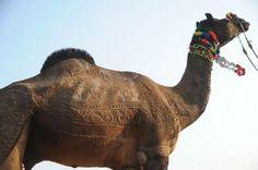 design camel