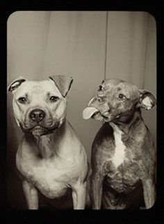 This vintage image is hysterical! Two Pit Bulls in a photo booth