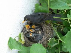 Mummy blackbird feeding her nestlings.
