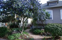 Ray hartman ceanothus trained as tree. California native.