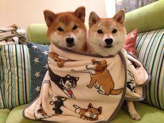 shiba inus in a shiba inu blanket.