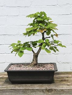 oak bonsai   Oak Bonsai Tree (Quercus Robur) on Outdoor Display Bench   Flickr ...