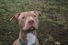 Introducing Timmy, a fun-loving 1-year-old Pit Bull Terrier mix! This sweet boy is a bit cautious at first but he warms up quickly - and he is well on his way to learning basic manners. Tiimmy was ADOPTED! from Seattle Humane, January 2017