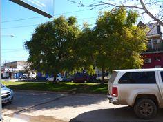 EVBJUAN :   JACARANDA ,  nombre cientifico: Jacaranda mimosifolia  , CALLE MITRE -- Brandsen Street