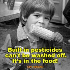 GMO Monsanto's Bt sweet corn is grown from genetically modified seeds with built-in toxins to kill pests. This can NOT be washed off. Green America, Genetically Modified Food, Toxic Foods, Best Diet Plan, Food Safety, Food Industry, Ms Gs, Brad Pitt, Genetics
