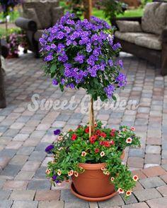 Gențiană albastră (Solanum rantonnetii Blue) | Sweet Garden Gardens, Make It Yourself, Sweet, How To Make, Blue, Green, Plant, Garden, Garden Types