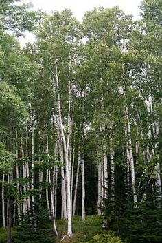 New Hampshire designated white birch (Betula papyrifera) as the official state tree in 1947. White birch is also known as canoe birch or paper birch (native Americans used white birch bark to make canoes and it was also used for writing paper).