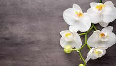 Orchids  ...  a witness to the Creator - creation.com