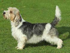 Petit Basset Griffon Vendéen Dog Breed Information Kinds Of Dogs, All Dogs, Dogs And Puppies, Rhodesian Ridgeback, Vizsla, Hound Breeds, Dog Breeds, Mans Best Friend, Girls Best Friend