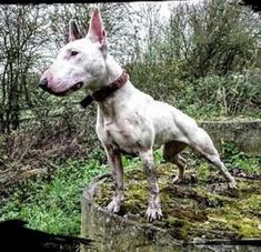 White Bull Terrier, Mini Bull Terriers, English Bull Terriers, Gull Terrier, Terrier Breeds, Boy Dog, Awesome Dogs, Hunting Dogs, Working Dogs