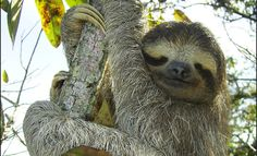 Why is this sloth smiling? Moths, algae, and poo. Slothful Ecosystems « Life  « Science Today