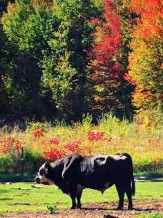 Autumn Bull Wild Bull, When You Come Home, Old Orchard, Grandma And Grandpa, Open Window, Falling Down, Cows, Country Girls, Cattle