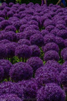 Field of deep dark purple hydrangeas Purple Love, Purple Hues, All Things Purple, Shades Of Purple, Deep Purple, Magenta, Pink Purple, Purple Stuff, Dark Purple Flowers