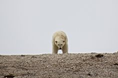 Humans want to see polar bears, but polar bears don't want to see us. But the Arctic isn't just about polar bears, there's much more...