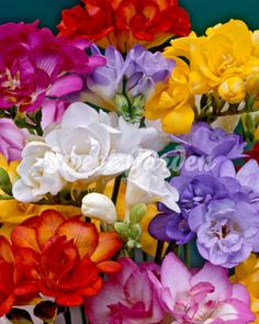 Freesia Bulb Double MixA wide range of colors and an alluring floral fragrance make freesia hard to resist. With up to eight trumpet-shaped, upward-pointing blossoms on leafless stems, freesias make delightful cut flowers that last a long time i. Freesia Flowers, Bulb Flowers, Spring Plants, Spring Bulbs, Spring Garden, Planting Bulbs, Planting Flowers, Summer Flowers, Beautiful Flowers