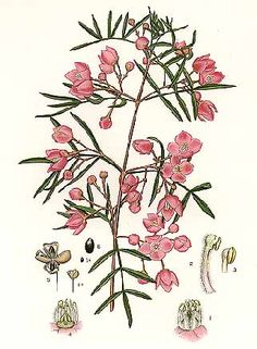 Edward Minchen - Boronia pinnata, 'The Flowering Plants and Ferns of New South Wales - Part 1' (1895)   J H Maiden, NSW Government Printing Office