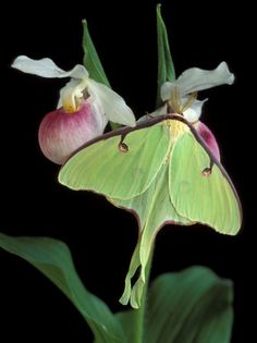 Luna Moths on Showy Lady Slipper, Wilderness State Park, Michigan, USA Photographic Print