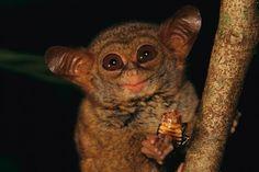 A tarsier eating, Tangkoko-Duasudara Nature Reserve, Sulawesi, Indonesia Primates, Mammals, National Geographic, Jungle Animals, Cute Animals, Slow Loris, Eat Pizza, Mundo Animal, Cute Animal Pictures