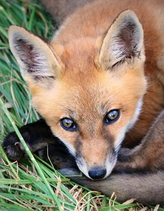 Red Fox Kit - Photo by babyruthinmd