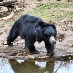 bruno setzt sich in szene #nasenbär #zoo