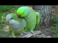 Parrot Really Wants a Kiss!