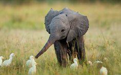 Baby elephant + baby birds = awwww-overload