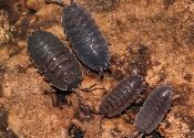 sow bugs gray Porcellio scaber