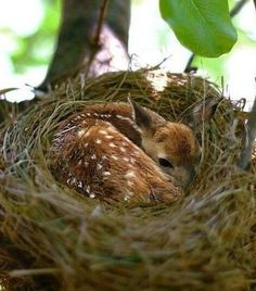 A baby deer found warmth in a birds nest~ think about it , the nest is on a branch ! and it would have to be a pretty big nest even for a fawn !!