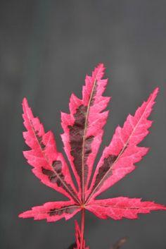 Acer palmatum 'Rainbow'