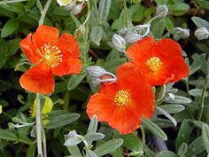 Henfield Brilliant Sun Rose - Helianthemum - Quart Pot