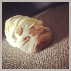 Lose yourself in the wrinkles and folds of these 10 Shar-Pei puppy photos -- too…