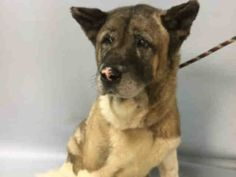 6/14/17 SUPER URGENT!!! POOR SWEETHEART! Sad Senior boy doesn't understand why is owners have left him at this scary place. He & house mate Missy dumped due to owner moving.  Brooklyn Center TYCO aka MORK – A1111444 *** RETURNED 06/11/17 *** MALE, TAN / BLACK, AKITA, Sweet calm boy, lived with kids. Reason MOVE2PRIVA Intake condition GERIATRIC Intake Date 06/11/2017, From NY 11423, DueOut Date , I came in with Group/Litter #K17-100498.