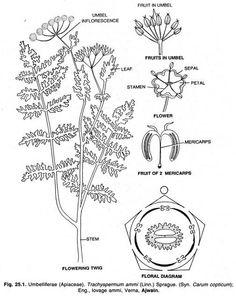Flower cross section | Flower & plants | Pinterest