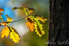 Quercus robur - oak - tammi by Pauliina Kuikka and Arto Lehikoinen Photography on YouPic Nikon D700, Nature, Flowers, Plants, Photography, Naturaleza, Photograph, Fotografie, Photoshoot