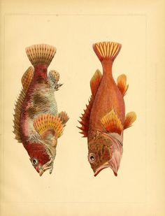 Notes on some figures of Japanese fish : taken ...