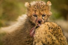 This cub is being licked clean by his mother after finishing some lunch while being observ...