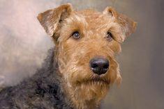 Portrait Airdale