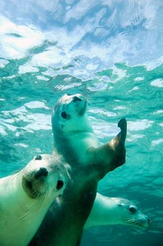 Australian Sea Lions... Clearly not camera shy #animals