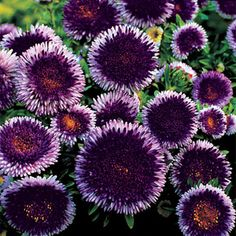 A pompon China Aster (Callistephus chinensis) with a large central disk of deep purple surrounded by short petals of light violet.