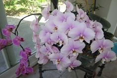 How to water and fertilize orchids in order to get them to rebloom quickly. One of mine hasn't bloomed in nineteen months! Growing Orchids, Growing Plants, Outdoor Plants, Garden Plants, Indoor Flowers, Orchid Plants, Orchid Care, Plant Care, Garden Projects
