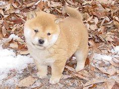 意外と知らない!?日本犬(6犬種)のまとめ【かわいい画像】 - NAVER まとめ