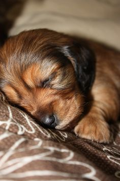 Awwww...such a sweet baby doxie. | Puppy Love